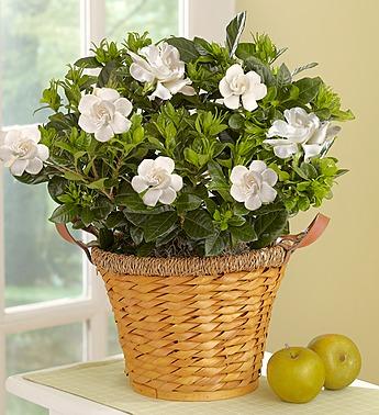 Blooming Gardenia Basket